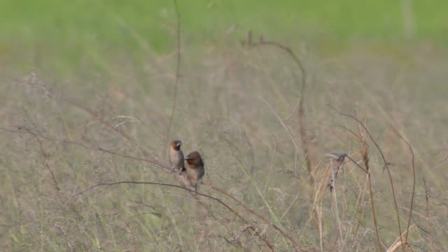 Scaly-breasted Munia parent and its offspring video