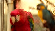 Scarlet and Blue Macaws in Cage video