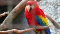 Scarlet Macaw - Ara Macao video