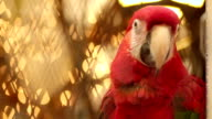 Scarlet Macaw in Cage video