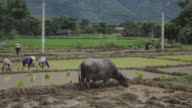 Scene of vietnamese farmers planting rice by hands in paddy terrace field in Sapa Mai Chau Vietnam video