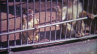 1968: Scenes of caged monkeys in different settings. video