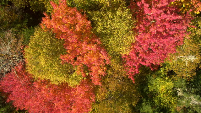 AERIAL, CLOSE UP: Scenic colorful treetops with spectacular fall foliage leaves video