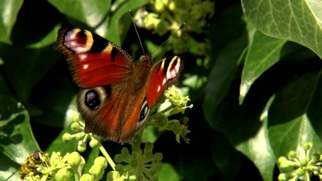 Schmetterling nah auf Blüten - Tagpfaunauge. Beautiful butterly video