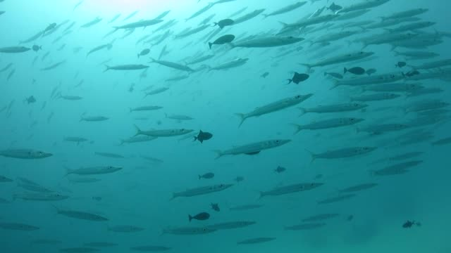 School of Bigeye Barracuda video