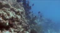 School of blue tangs in the Florida Keys video