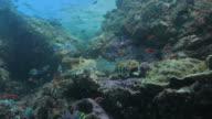 School of butterflyfish feeding algae (seaweed), coral undersea (4K) video