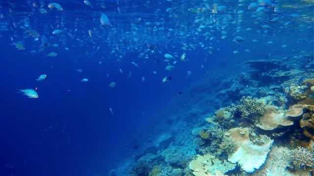 School of Damselfish oncoral reef - Maldives video
