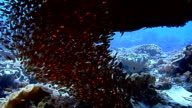 school of fish and colorful coral video