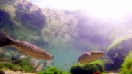 School of fish swiming in shallow water video