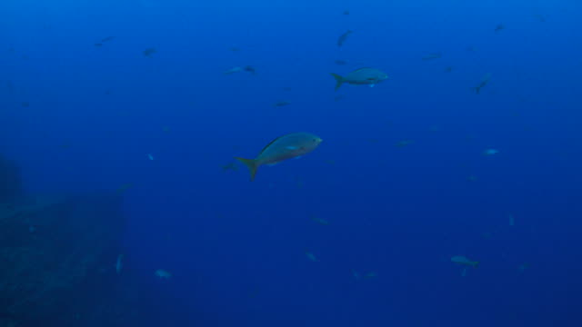 School of fish swimming in the reef video