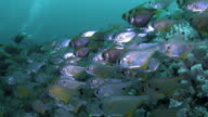 School of Fish video