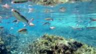 School of grey Mullet in the atlantic ocean at azores video