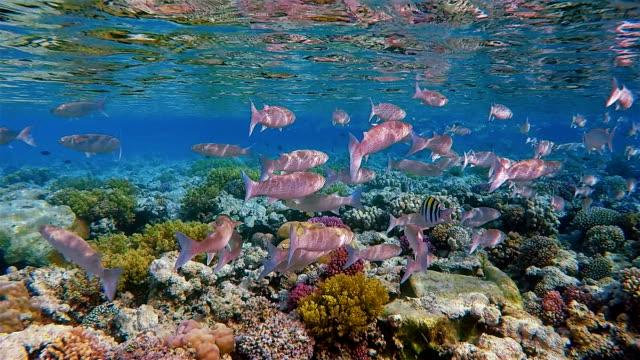 School of Hornlip mullet / Oedalechilus labiosus on coral reef / Red Sea - Marsa Alam video