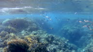 School of Indian mackerel ram feeding on plankton , Red Sea video