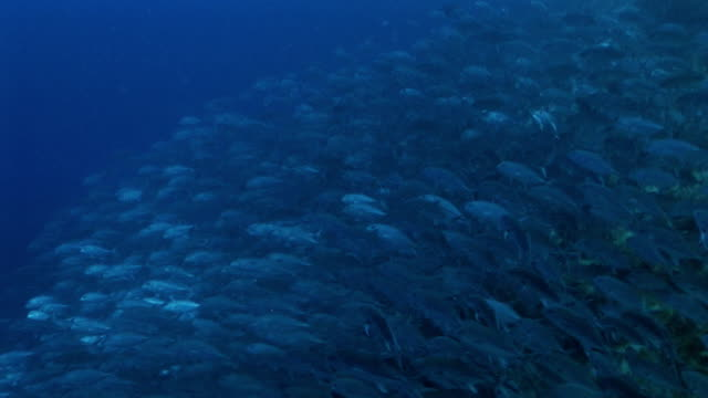 School of Jack Fish video
