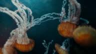 School of Jellyfish video