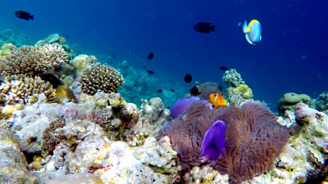 School of Maldives Anemonefish - Maldives video