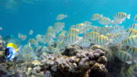 School of Manini (Convict) Surgeonfish on coral reef video