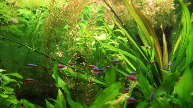 School of Neon tetra fish in tank video