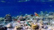 School of parrotfishes on coral reef on Maldives video