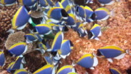 School of Powder Blue Surgeonfish video