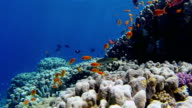 School of Sea goldie fishes on coral reef - Red Sea video