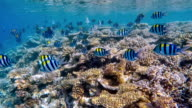 School of Sergeant major on coral reef on Maldives video