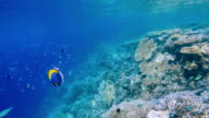 School of tropical fishes on coral reef - Maldives video