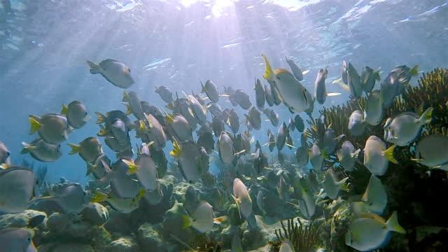 School of yellowfin surgeonfish or Cuvier's surgeonfish ( Acanthurus xanthopterus ) in Caribbean Sea - Akumal Bay - Riviera Maya / Cozumel , Quintana Roo , Mexico video