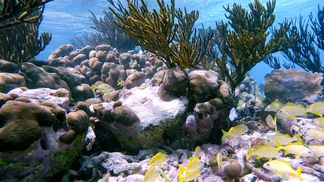 School of young yellow snapper fish in on Caribbean Sea - Akumal Bay - Riviera Maya / Cozumel , Quintana Roo , Mexico video