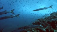 schooling barracudas over mediterranean reef, under water video