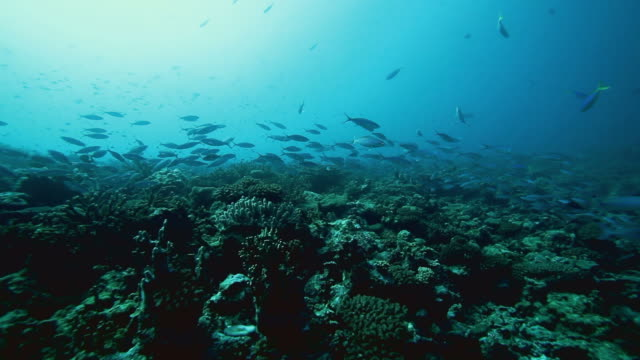 Schools of fish over a reef in the Pacific Ocean video