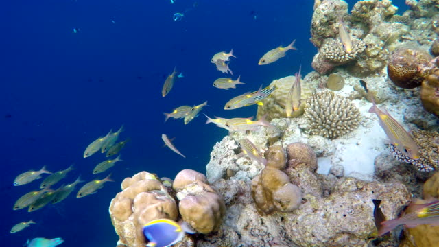 Schools of snappers undersea video