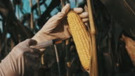 DS Scientist genetically modifying the corn video