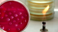 Scientist heats loop and takes bacterial biomass video