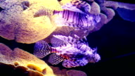 Scorpion fish and corals. video