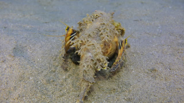 Scorpion Fish - two stick sting fish video