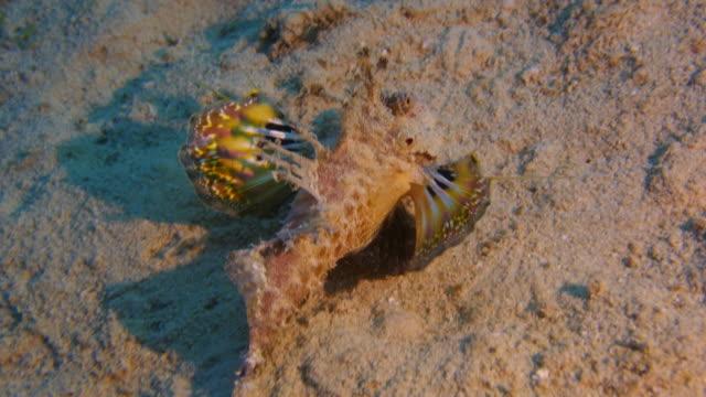 Scorpion Fish - two stick sting fish video