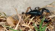 scorpion moving on grass floor video