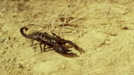 Scorpion running on ground, desert. Asian Black scorpion close up view .With camera motion. Shot on RED EPIC DRAGON Cinema Camera. video