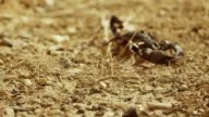 Scorpion running on ground, desert. Asian Black scorpion close up view . Shot on RED EPIC DRAGON Digital Cinema Camera with Ultra Prime Lenses. video