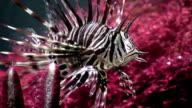 HD: Scorpionfish video