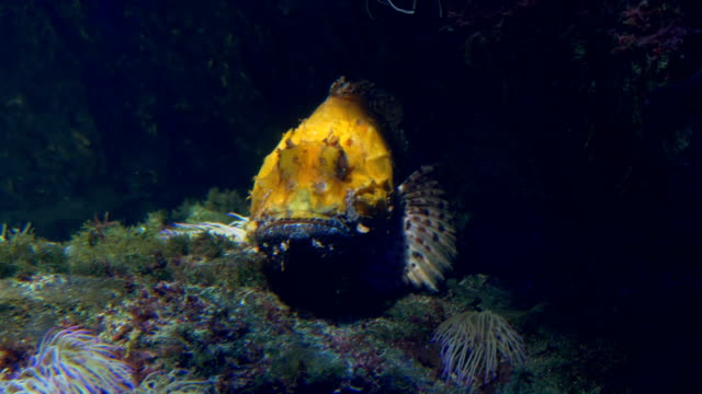 Scorpionfish video