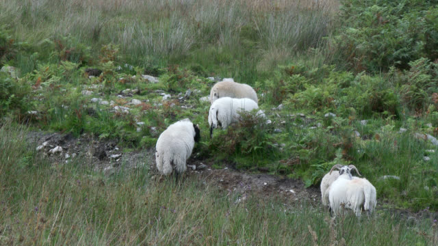 Scottish black faced sheep in a remote rural setting video