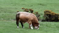 Scottish rural scene with a bull grazing in a field video
