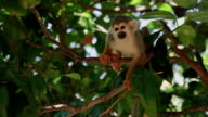 Scratching squirrel monkey video