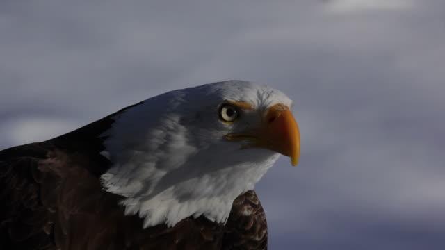 Screaming  bald eagle close up video