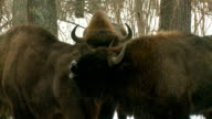 Screaming bison video