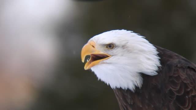 Screaming eagle in winter (HD) video